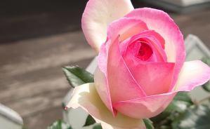「可愛いにも程がある」バラの花