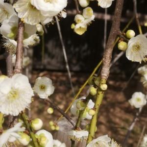 娘 梅の花を撮影しまくる