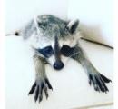 アライグマの「パンプキン」死ぬ、インスタで絶大な人気
