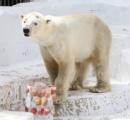 天王寺動物園でホッキョクグマの「ゴーゴ」に氷柱プレゼント 喜ぶ姿に歓声