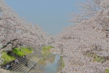 大和路の桜