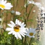 『百代草』の画像