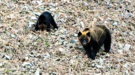 【知床】飼い犬3匹がヒグマに襲われ1匹が死ぬ…北海道羅臼町