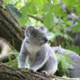 『火事で失われるコアラの遺伝子多様性』の画像