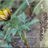 『福寿草』の画像
