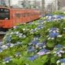 八王子の紫陽花 Hachioji