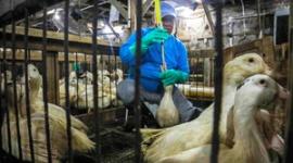 【米国】ニューヨーク市議会、フォアグラ提供禁止へ…料理店「次は何がだめになるんだ?子牛の肉か、キノコか」