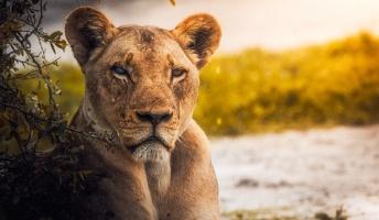 【昭和の怪奇事件】上野動物園で「ライオンVS豹」のデスマッチ!?勝者は…