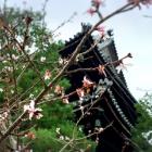 『京都南座『サクラヒメ』いよいよ開幕』の画像