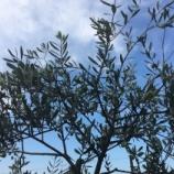 『オリーブ収穫と、ちょっこと釣具屋 (9/25)』の画像