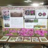 『戸田市の春は、さくらそう。戸田市の花・サクラソウの紹介が戸田市役所二階で始まっています。彩湖・道満グリーンパークの戸田ヶ原自然再生エリアにお越しください!』の画像