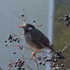 『ムクドリ(椋鳥) ~庭に来る野鳥~』の画像
