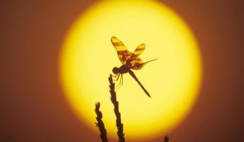 【蜻蛉島】蜻蛉(トンボ)のいる風景を置いておきます