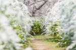 桜の街、交野さんぽ・みちくさ 〜グラデーションな星田の妙見坂編〜