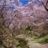 『長野県天然記念物「コヒガンザクラの樹林」』の画像