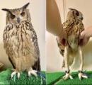 フクロウの脚、クソ長いことが判明する🦉