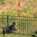 【イヌ】 野生のシカが現れた。でも犬たちは柵に守られているから大丈夫♪ → ファッ!?