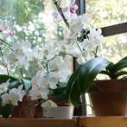『温室なしで咲かせる胡蝶蘭(ファレノプシス)の手入れと増やし方・症状別対処法』の画像