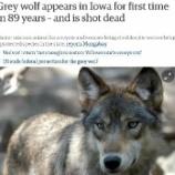 『「間違えて」殺される貴重なオオカミたち』の画像