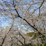 『靭公園に桜を見に行ってまいりました』の画像
