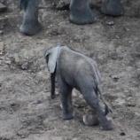 『罠にかかった赤ちゃんゾウ』の画像
