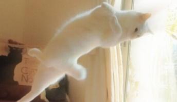 くるふわ…タンッ!バレエを踊る猫が海外で「ビューティホー」と人気