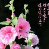 『天下御免の梅雨葵』の画像