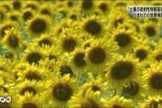 福島県が黄色いお花畑になるかもというニュース