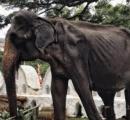 スリランカでガリガリのゾウが祭りで連日歩かされ動物虐待ではないかと問題に