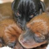『親の愛と仔犬の扁桃体』の画像