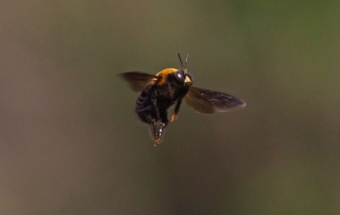 『投稿:BORG45EDIIによるクマバチ&MILTOL桜 2021/04/09』の画像