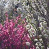 『今年も花桃満開』の画像