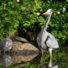 『投稿:BORG71FL+ペンタックスQ10による野鳥とカメ 2021/03/26』の画像