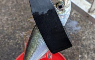 『とりあえず初釣り! ふれーゆ裏 2020/1/12』の画像