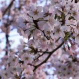 『桜2015@群馬』の画像