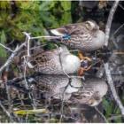 『身近な野鳥たち・パート2』の画像