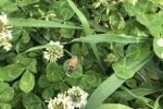 日本には蜜蜂は2種類いるってご存知?ニホンミツバチとセイヨウミツバチの見分け方〜交野いきもの図鑑No.19〜