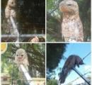 【画像】ポトゥとかいう鳥こわすぎるやろ…