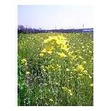 『菜の花』の画像