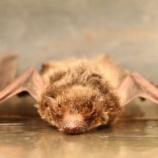 『翼の破れたコウモリの驚くべき自己治癒力』の画像
