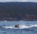 【画像】クジラをタクシー代わりにしているアザラシが話題にwww