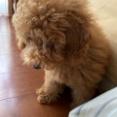 ひとり遊びするトイプードル子犬が愛おしい。