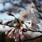 『らうたげ~桜の花から』の画像