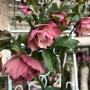 *ふんわり可愛いピンクのクリスマスローズ&こぼれ種・・・これはあの花?