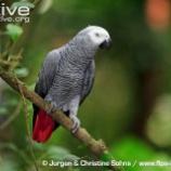『賢い鳥ヨウムの証言』の画像