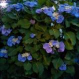 『紫陽花・*:..。o○☆*゚¨゚゚』の画像