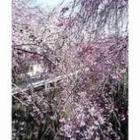『今日の桜』の画像