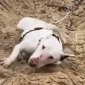 イヌが砂の斜面にいた。寝転んで暴れだす。どうなるの? → こうなります…
