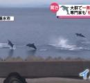 イルカの大群が一斉にジャンプ 驚異行動捉える