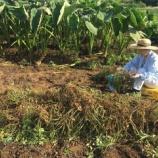 『ツマノテを借りておおまさり収穫』の画像